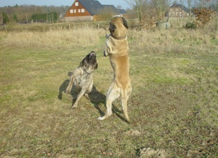 spelende mastiffs